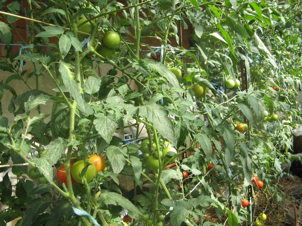 Идеальная относительная влажность воздуха — 60-65%. В период опыления воздух должен быть сухим, поскольку томаты — это самоопыляющаяся культура, а влажная пыльца не сможет отделиться от тычинок