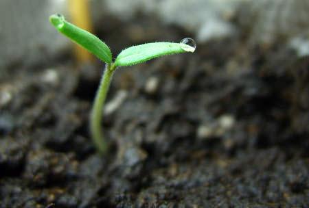 Как вырастить помидоры на даче.Семена всходят при температуре 20-25 градусов С