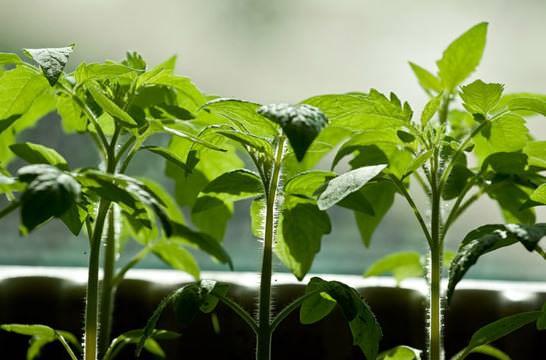 Для посева следует использовать отдельную площадь