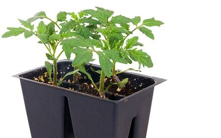 Как вырастить помидоры на даче.Если для рассады используются кассеты, то они должны быть с дренажными отверстиями на дне