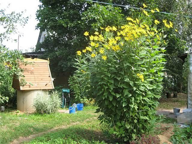 Как правильно ухаживать за топинамбуром, чтобы растение было сильным и показало хороший урожай по осени?