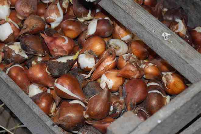 Луковицы тюльпанов должны быть разложены по ящикам в один слой, что предотвратит их порчу