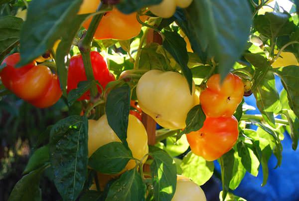 Болгарский перец: особенности выбора сорта и правила выращивания
