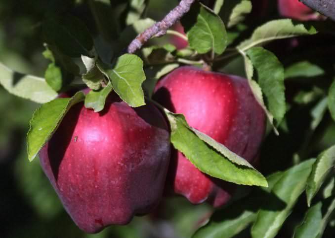 Сорт яблони «Делишес Ред» культивируется более века
