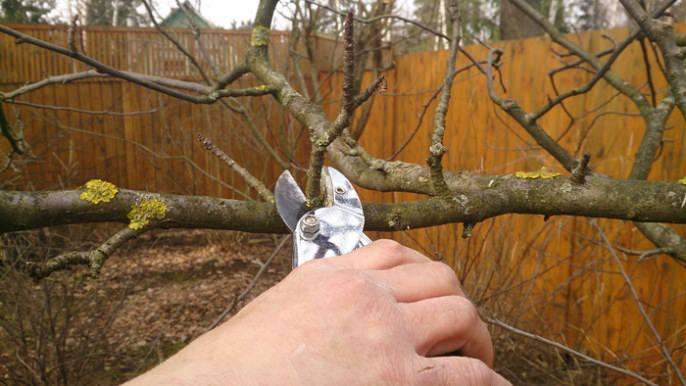 Сорт «Пепин шафранный» необходимо регулярно обрезать из-за грибковых заболеваний