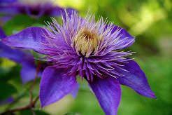 Клематис декоративный ботанический очень разнообразен