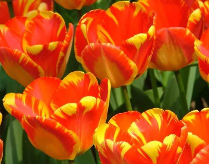 Тюльпан Банья Лука растёт достаточно быстро, отлично размножается и активно применяется для выгонки