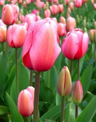 Тюльпаны – это украшение для любого сада