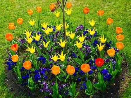 Тюльпаны раннецветущих сортов сажают на 10-15 дней раньше поздноцветущих