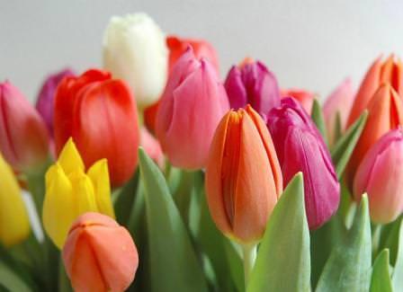 Если почва для тюльпанов была подготовлена надлежащим образом, то уход будет несложен