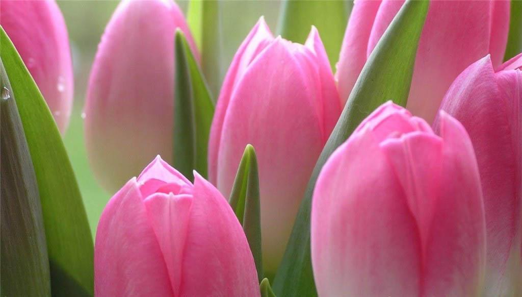 Тюльпаны чаще всего выращивают в групповых посадках