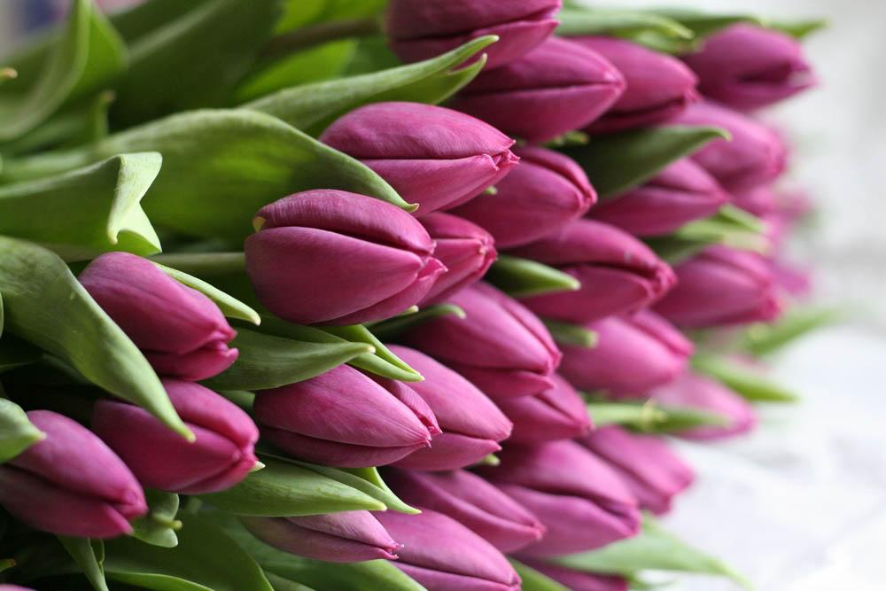 Тюльпаны хорошо растут на легких супесчаных почвах с перегноем