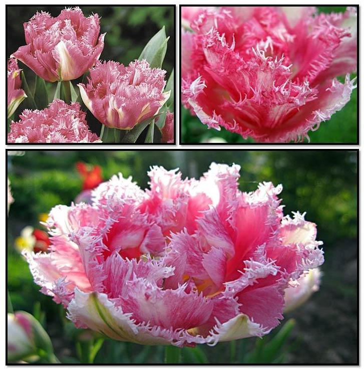 Поливать тюльпаны надо даже после окончания цветения, примерно еще пару недель, пока надземная часть не начнет желтеть