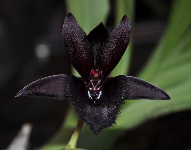 Чёрная орхидея является красивейшим растением, цветы которого характеризуются наличием изумительного ванильного запаха
