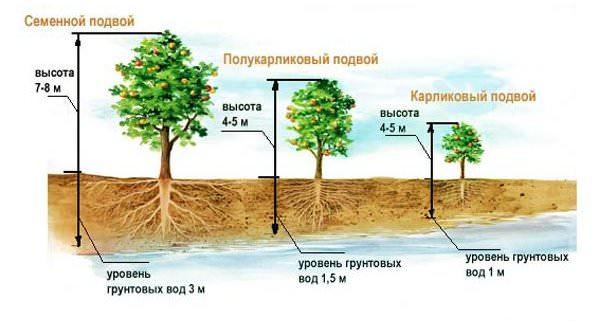 При планировании посадок яблонь следует помнить, что опытные садоводы рекомендуют культивировать на участке сада яблони сразу нескольких сортов