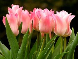 Выращивание тюльпанов в теплице – это очень ответственное занятие