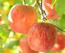 Яблоки «Грушовка московская» — ранний летний сорт