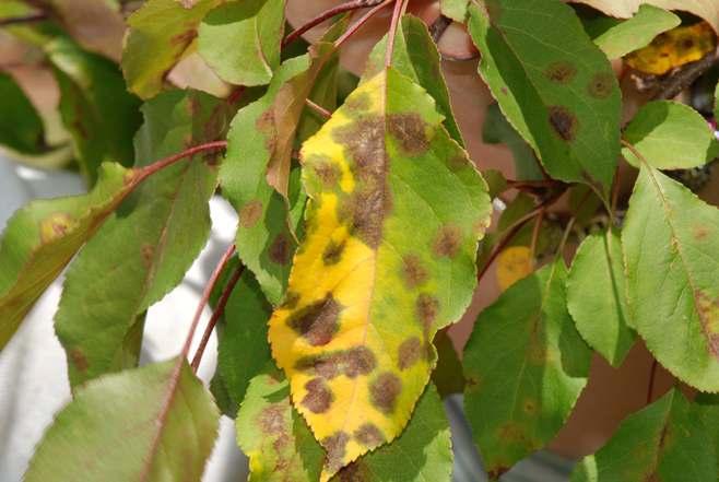 Парша – грибковое заболевание, которое поражает листья дерева или молодого саженца