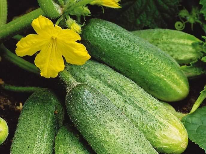 Сорт «Отелло F1» является одним из лучших гибридов для выращивания на грядах открытого грунта
