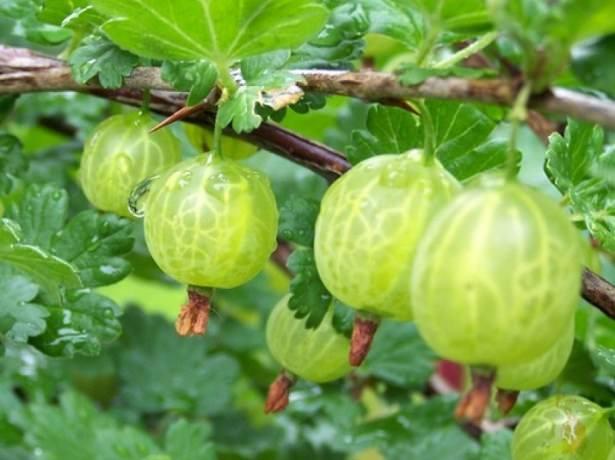 Сорт «Малахит» отличается устойчивостью к низким температурам и засухе