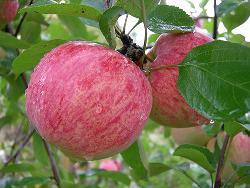 Яблоня «Коричное полосатое» – зимостойкий сорт