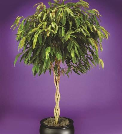 «Амстел Кинг» (Ficus Amstel King)