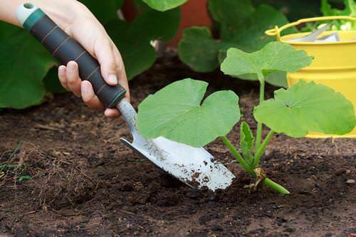 Сроки высадки патисонной рассады – вторая декада мая