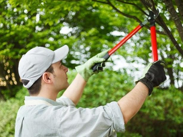 Вишне «Молодежная» необходима постоянная обрезка, так как дерево склонно к зарастанию