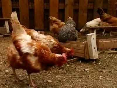 Используйте сухой, перепревший, жидкий куриный помет, но обязательно сочетайте его с правилами выращивания растений и нормами внесения, чтобы принести только пользу, но не вред