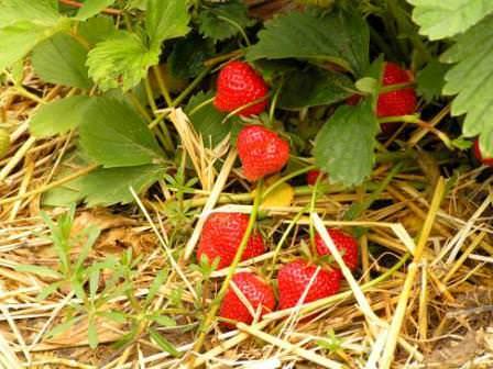 После удобрения ягодных пометом, обязательно соблюдайте и дальнейшую агротехнику растений