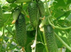 Огурец «Мурашка f1» наиболее часто выращивается в теплице
