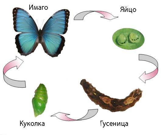 Вырастить бабочку в домашних условиях несложно
