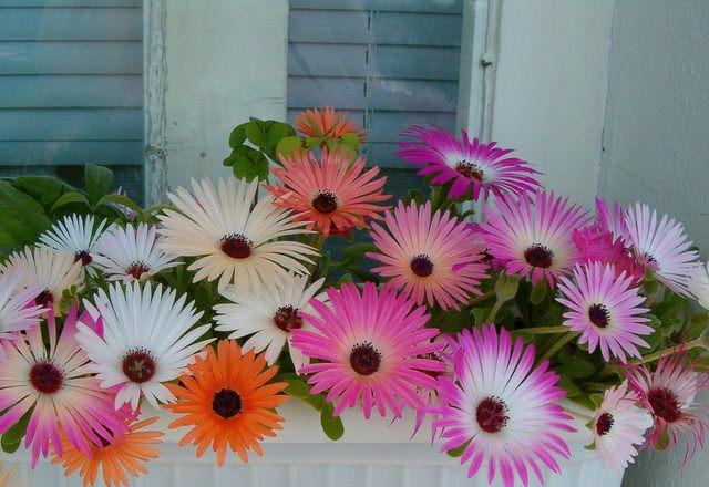 Как и любые суккуленты, растения негативно относятся к повышенной влажности