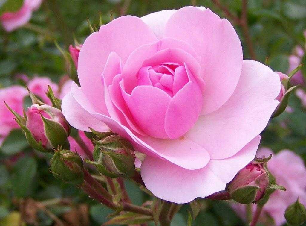 В зависимости от видовой принадлежности розы, ее селекционного сорта и адаптации к региону и его условиям, зависит возможность растения самостоятельно бороться со многими опасностями