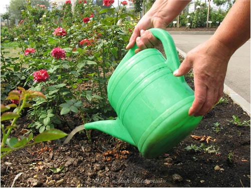 Правильный полив будет регулировать подачу важных для роста и развития растения элементов в корневую системы