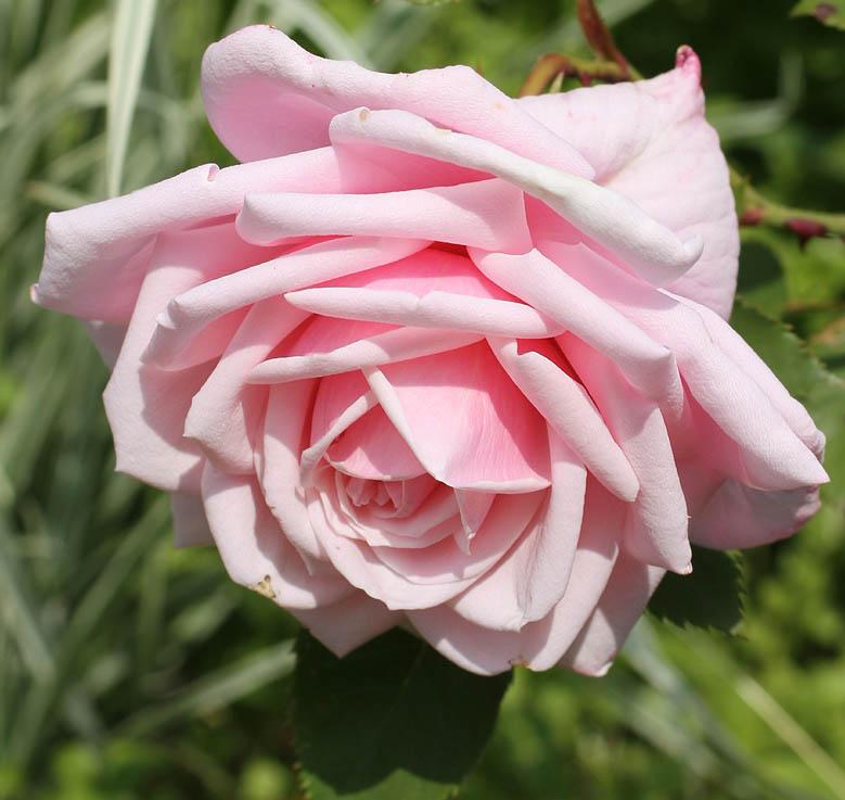 В нашей стране существует множество сортов роз, которые нормально переносят небольшие холода, но сильных морозов, все-таки, побаиваются