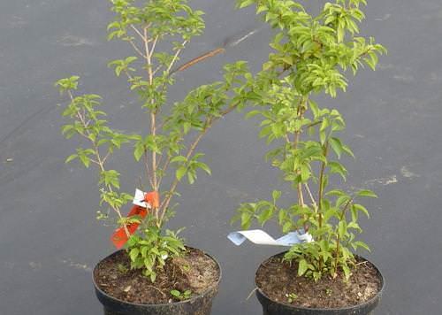 Садоводами используется метод размножения с помощью деления куста