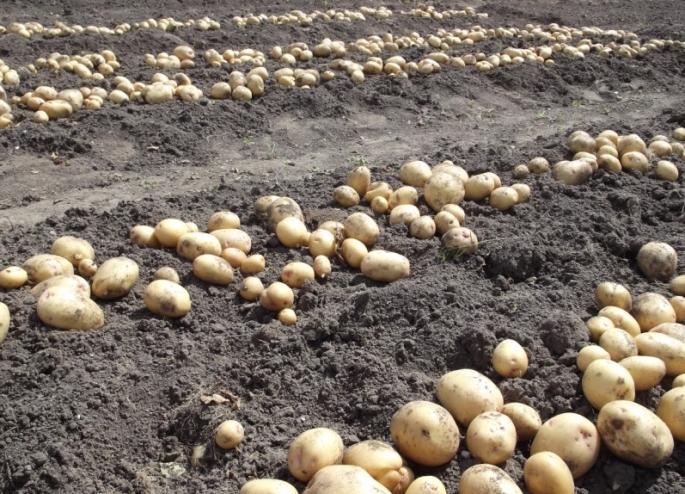 Картофель «Великан» показывает высокую и достаточно стабильную урожайность