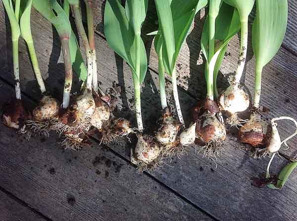 Выкопку тюльпанов осуществляют ежегодно