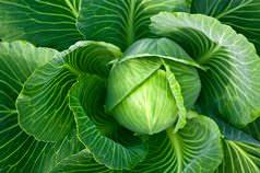 Капуста белокочанная является одной из ведущих овощных культур