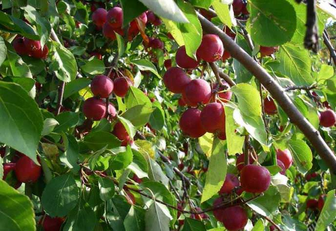 «Ранетка Красная» – яблоня этого сорта выведена в Благовещенске