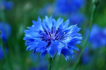 Чтобы васильки росли сильными и цветение их было ярким и длительным, для них, конечно же, требуется подобрать правильное место в саду