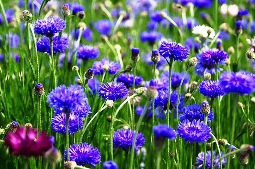 Василек — замечательного вида цветок с множеством народных названий — блават, переполох, волошка, бобыльник и прочие