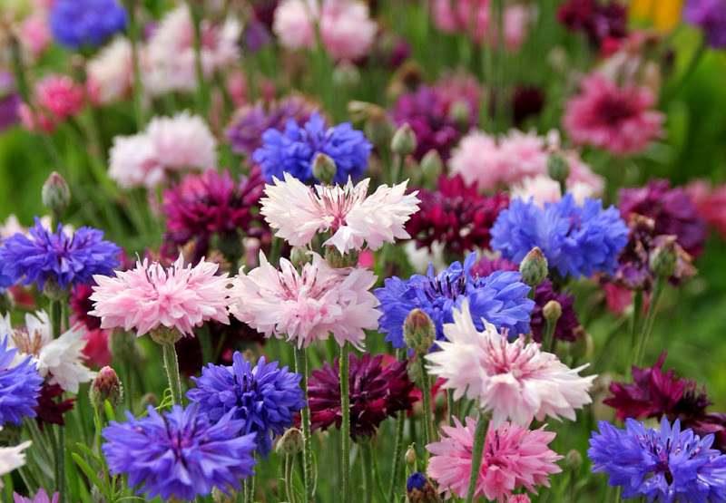 Васильки — замечательные, радужные цветы, видов которых, благодаря селекционерам, стало довольно много