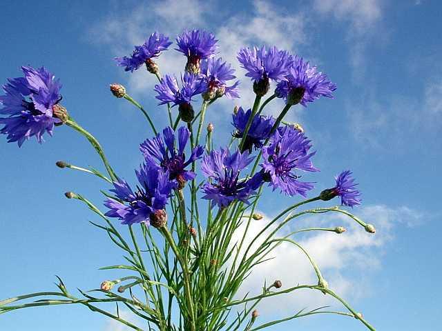Многолетние сорта васильков следует высаживать в открытый грунт в октябре — ноябре или же весной, в апреле