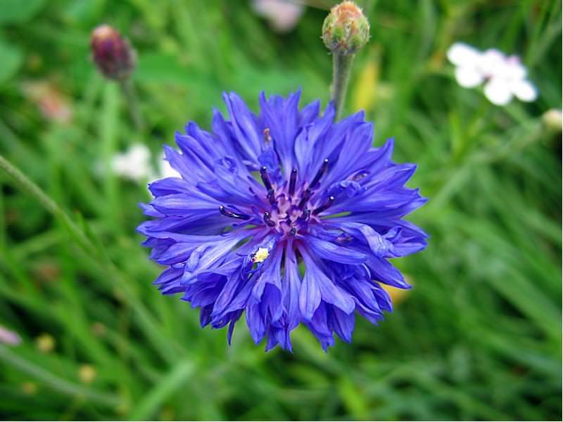 Василек — декоративнорастущее растение, которое может достигать роста от 40 до 120 см.