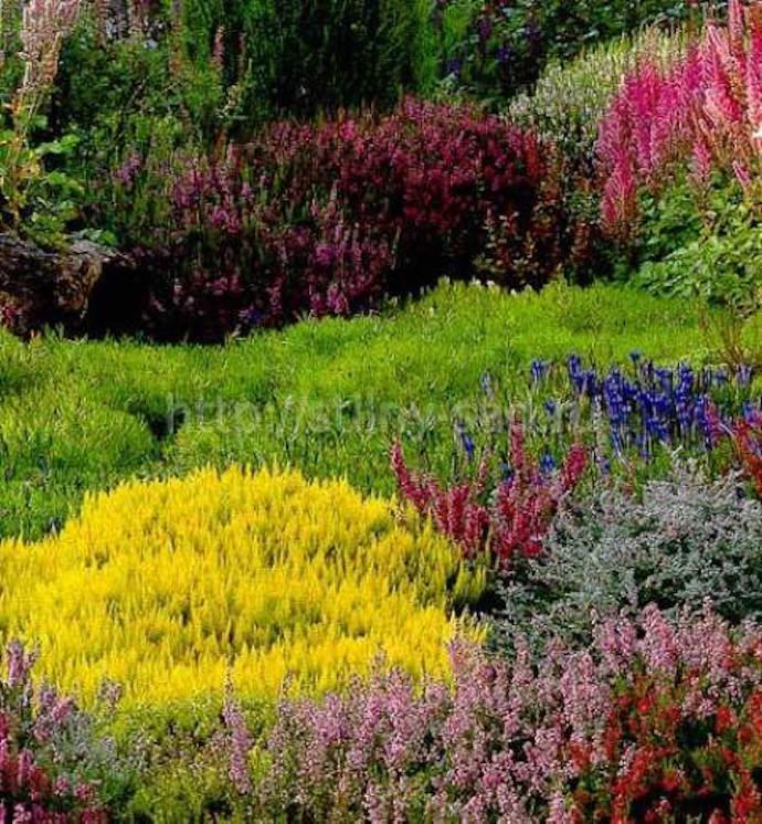 Для верескового сада следует подобрать светлый участок, хорошо освещаемый солнцем