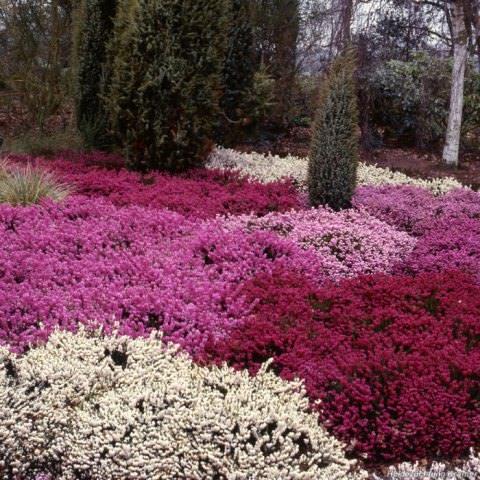 Для желающих создать вересковый сад своими руками на приусадебном участке изначально необходимо подобрать растения