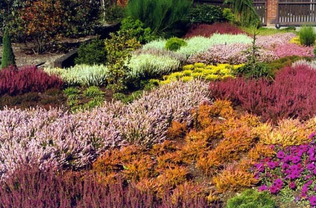 Вересковые сады впервые стали основываться также в Англии, после – в Голландии, Германии и Бельгии