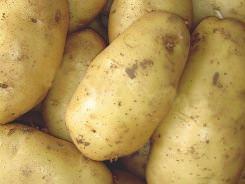 Картофель «Весна» отличается высокими показателями урожайности